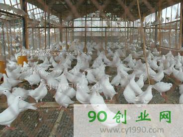 四川张寿兵:养鸽致富,养鸽成本低,效益好