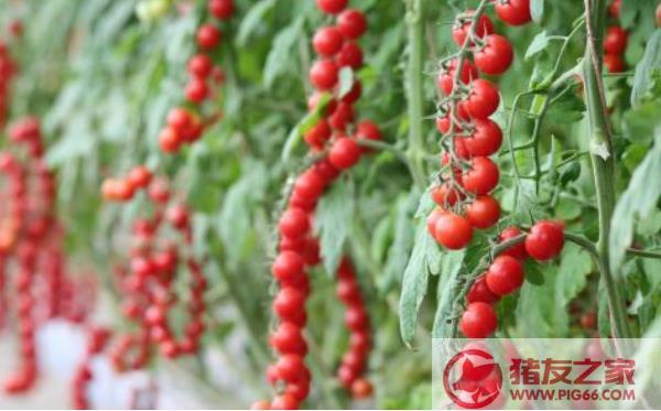 番茄树种子价格多少钱一斤 番茄树种子哪里有卖