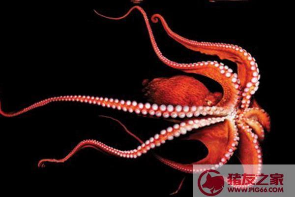 章鱼能吃吗 章鱼是什么颜色