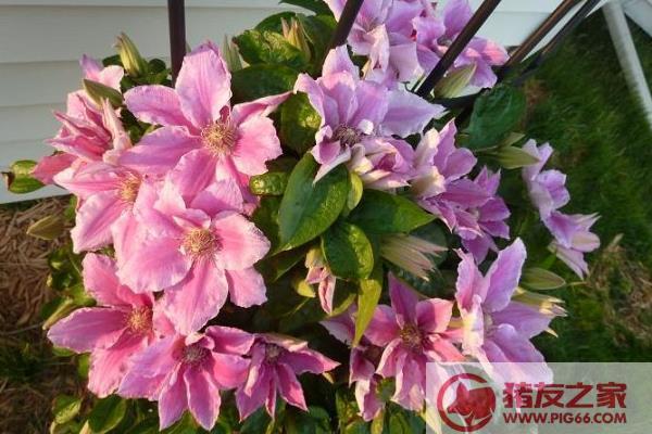 铁线莲一年开几次花 铁线莲什么时候开花(几月)
