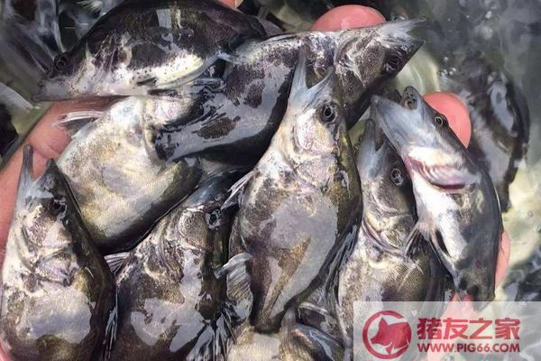 北京桂鱼多少钱一斤_鳜鱼价格多少钱一斤?