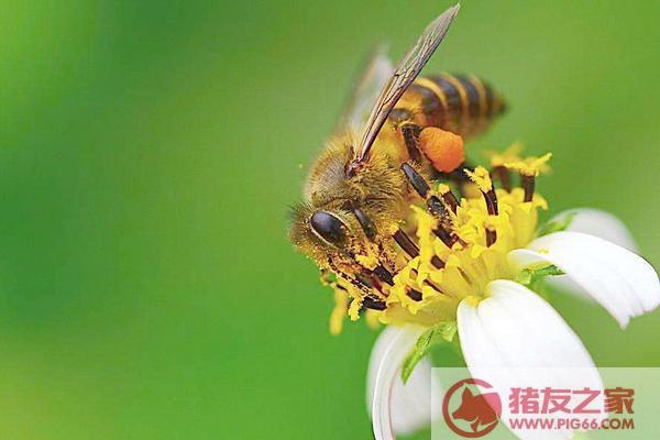 蜜蜂怕驱赶鹦鹉活多久蜜蜂v蜜蜂奄奄一息图片