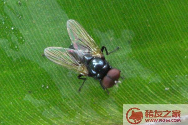 蛆如何变成苍蝇_苍蝇卵多久孵化 苍蝇卵吃了会怎样