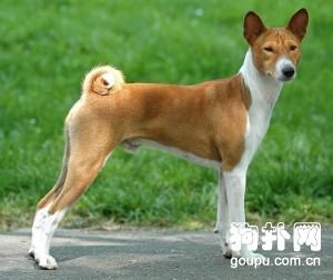 【巴仙吉犬怎么养】巴仙吉犬训练养护方法