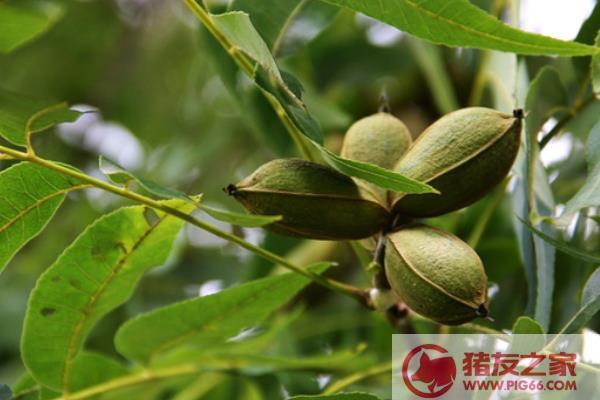 中国碧根果产地在哪里 碧根果树北方能种吗