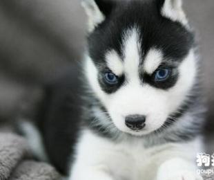 哈士奇幼犬多少钱一只?哈士奇幼犬的喂养常识