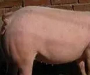 母猪的采食调控策略的重要性,你了解几分?