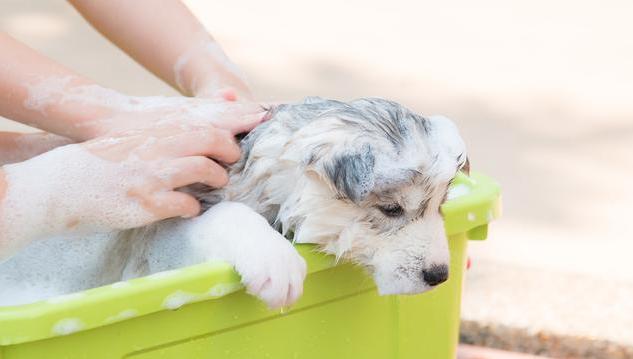 小奶狗因洗澡,回了汪星,爱狗不要再给它洗澡