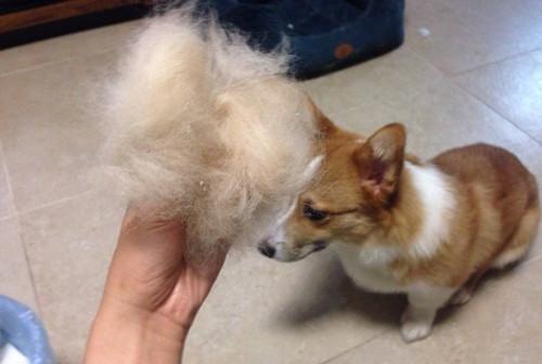 【宠物的养护小妙招】两个月的柯基掉毛太多,柯基掉毛到处都是