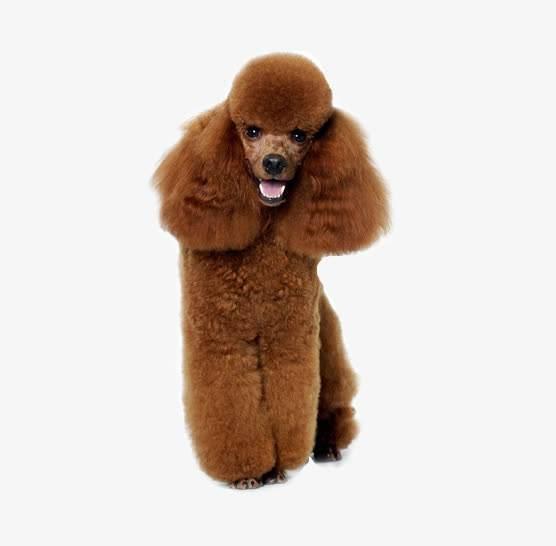 【本人养宠物心得分享】巨贵犬长多少刚开始发毛量,怎能让巨贵毛量足呢