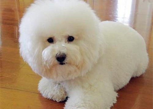 【养宠物心得分享】比熊非常容易掉毛吗,比熊吃啥对毛好