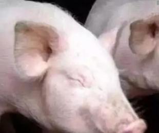 北方猪场出现疑似猪流感疫情,探讨综合防治策略