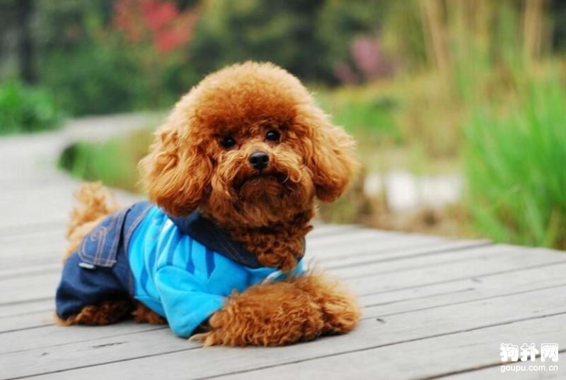 在购买泰迪犬时,需要注意哪些事项呢?