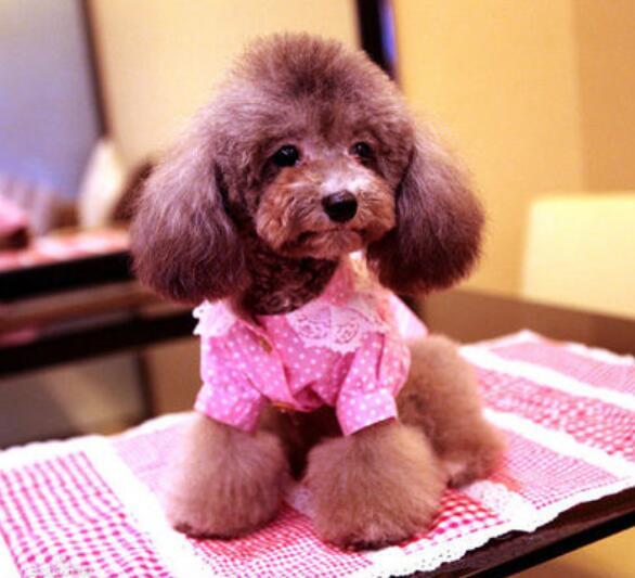 大家不养泰迪犬的原因,你们想知道吗?