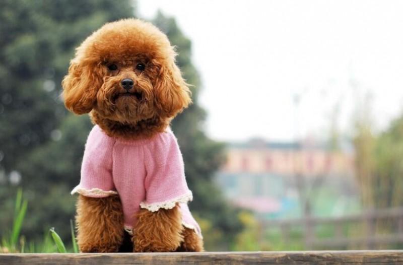 怎么给泰迪犬注射疫苗?给泰迪犬注射疫苗要注意什么?