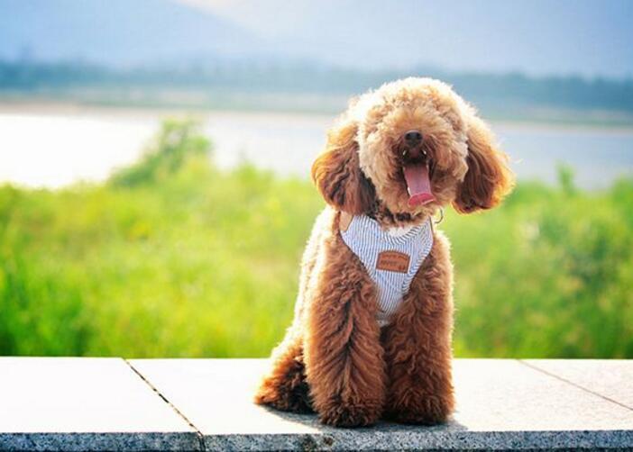 泰迪犬能吃水果吗?有哪些水果是泰迪犬可以吃的?