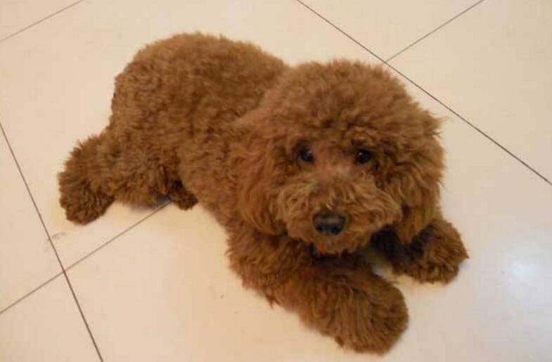 北京泰迪犬价格