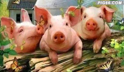 农村养猪散养户的新规定:养几头猪不违法?农村养猪散50头规定