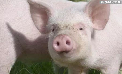 仔猪该怎么做疫苗?这份仔猪标准免疫程序表,养猪新手多参考!