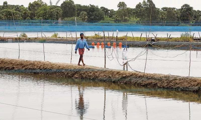印度养殖协会建议虾农推迟投苗、提早收虾