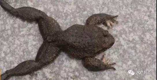 """都被人工养殖快60年了,你咋还是""""黑户""""呢!这两种蛙不该被禁售"""