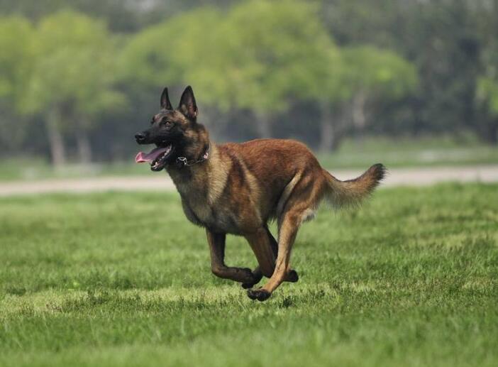 马犬前腿弯曲是缺钙么?马犬前腿弯曲怎么办?