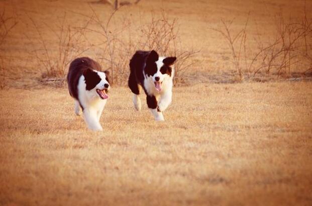 纯种边牧幼犬多少钱一只,入手前先了解价格