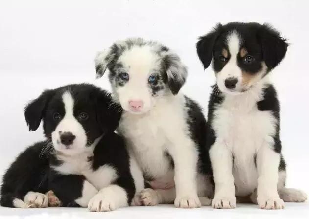怎么挑选边牧幼犬,纯种边牧幼犬标准