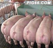 猪圆环病毒病的综合防治