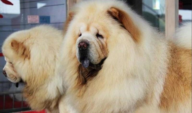 北京松狮犬价格
