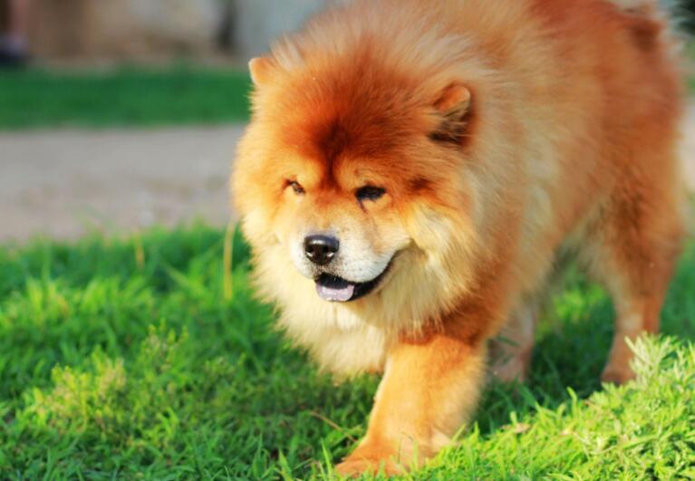 成都松狮犬价格,成都哪里有松狮犬出售