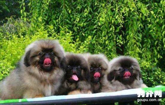 如何测试北京犬的排卵状况