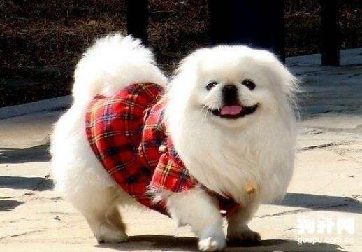 北京犬的产后护理