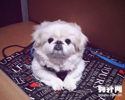 北京犬的社交锻炼