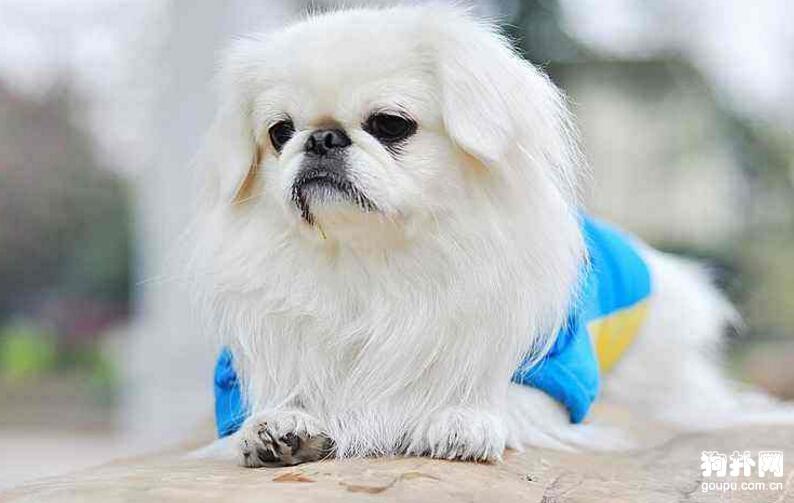 京巴是不是北京犬?京巴和北京犬的区别