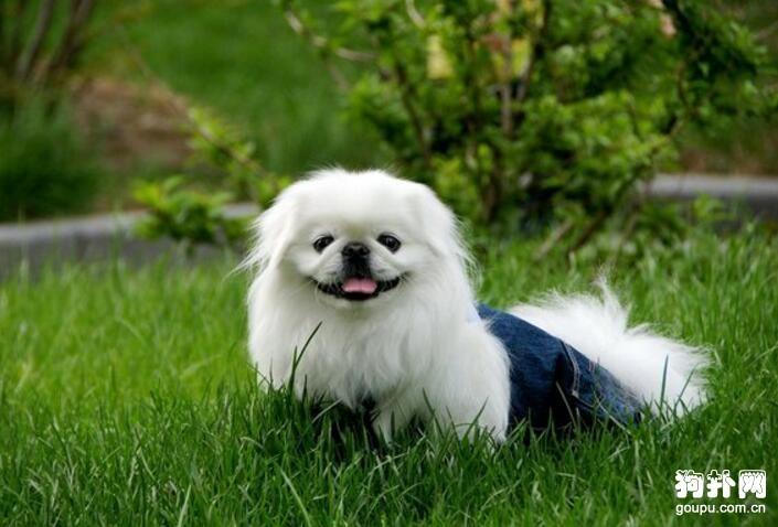 北京犬怎么训练,训练北京犬的方法及注意事项