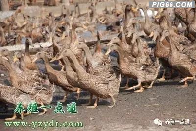【养鸭】影响鸭配种性能的六大因素