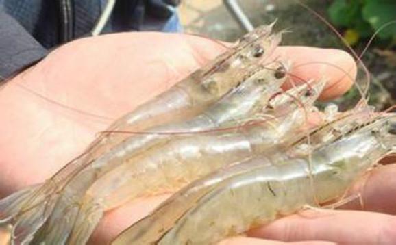 虾苗价格:虾苗多少钱一斤?对虾虾苗价格?小龙虾虾苗价格?罗氏虾苗价格?