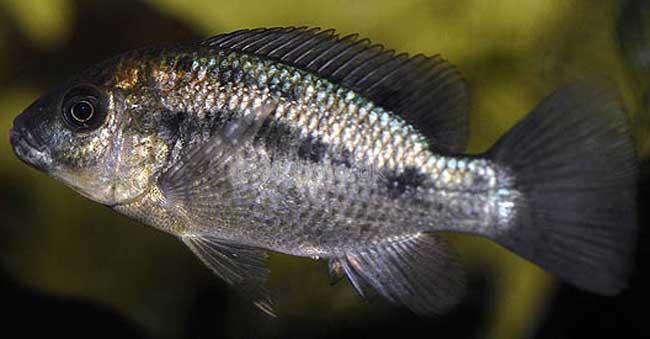 罗非鱼养殖密度:一亩鱼塘养多少条罗非鱼?罗非鱼最高密度养殖?