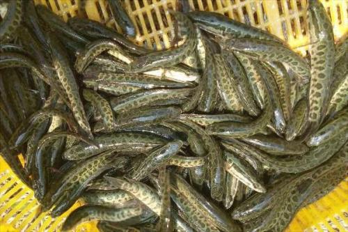黑鱼怎么养?黑鱼养殖技术大全