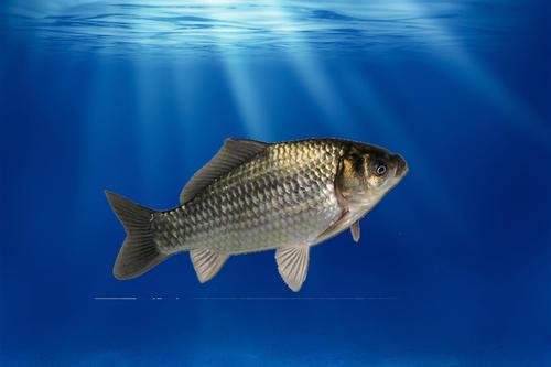 罗非鱼的养殖条件?如何高密度养殖罗非鱼?