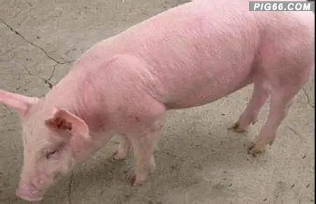 深度解析猪弓形体病的预防与防治(建议收藏)