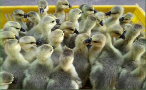 怎样养好朗德鹅?朗德鹅养殖技术