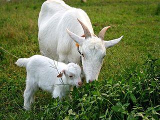 圈养羊怎么养?圈养羊养殖技术