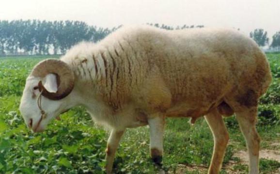肉羊养殖应注意什么?肉羊养殖技术要点