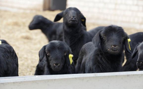乌骨羊怎么养?乌骨羊养殖应注意什么?