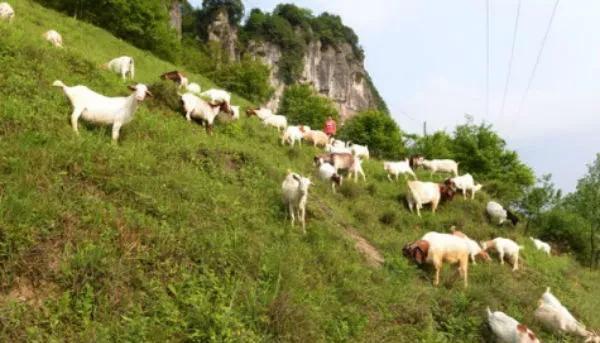 圈养羊冬天吃什么草料?圈养羊饲料配方大全