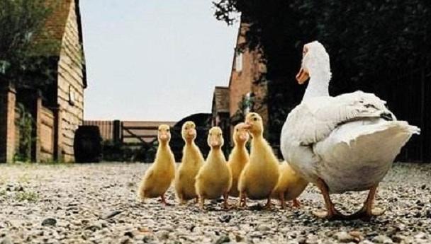 第一次养鸭多少只合适?新手养鸭子要注意什么?