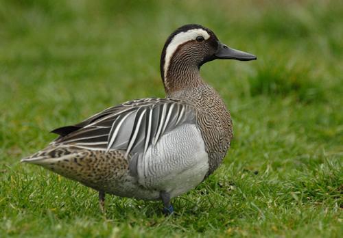 一只鸭子养60天需要多少饲料?鸭子饲料怎么配?