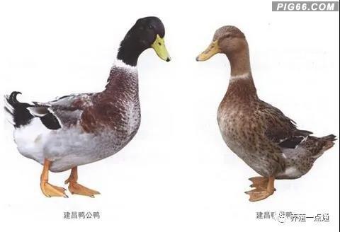 【鸭种大全】建昌鸭